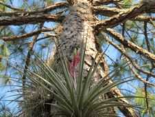 Free Bromeliad In A Slash Pine Royalty Free Stock Photography - 36401197