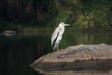 Grey Heron - Ardea Cinera Stock Photos