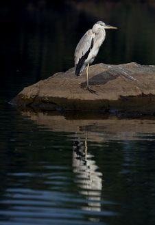 Grey Heron Reflection Stock Images