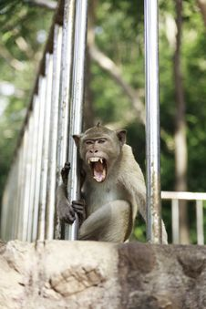 Free Thai Monkey Stock Photography - 36406192