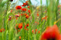 Free Red Poppies Stock Images - 36410534