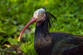 Free Northern Bald Ibis Royalty Free Stock Photo - 36412295