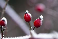 Rose Hips In Winter Stock Images