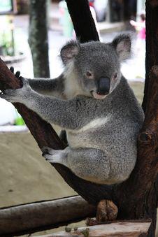 Free Koala Royalty Free Stock Image - 36410696