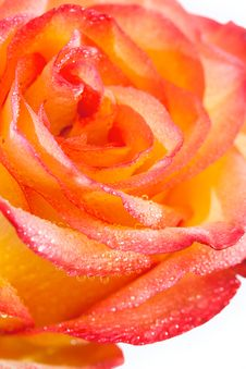 Free Beautiful Rose Flower Royalty Free Stock Photos - 36411558