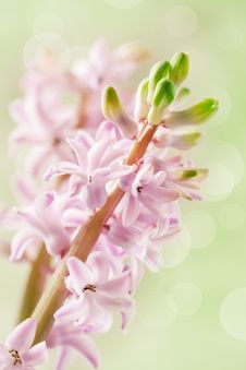 Free Flower Of Pink Hyacinth Stock Photos - 36411563