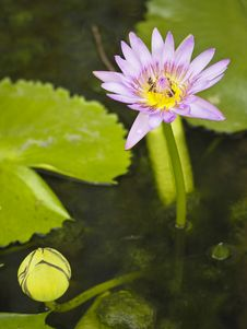 Free Beautiful In Pond Royalty Free Stock Photo - 36412245