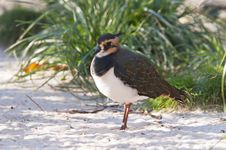Free Northern Lapwing Stock Photo - 36412250