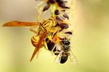 Free Wasp And Bee Royalty Free Stock Photography - 36413537