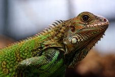 Free Iguana Stock Photos - 36415083