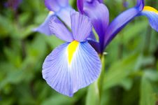 Free Violet Flower Royalty Free Stock Image - 36417696