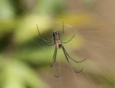 Free Orchard Spider Royalty Free Stock Photo - 36419995