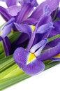 Free Purple Iris Royalty Free Stock Photos - 36429488
