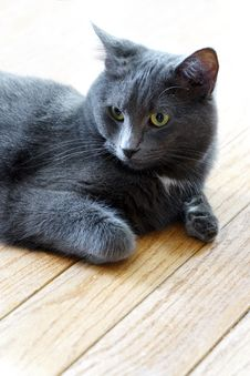 Free Regal Blue Gray House Cat Royalty Free Stock Photos - 36424798
