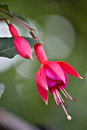 Free Fuchsia Stock Photography - 36432682