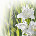 Free Flower Gladiolus Stock Image - 36437761