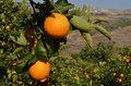 Free Orange Tree Royalty Free Stock Photo - 36439555