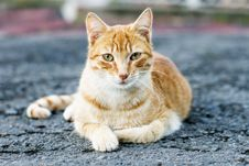 Blond And White Cat Posing And Looking At The Camera, Outdoor. Stock Images
