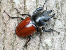 Free Stag Beetle&x28;male&x29; Royalty Free Stock Photo - 36434435