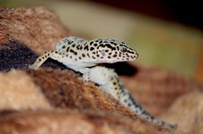 Free Leopard Gecko Royalty Free Stock Photo - 36435235
