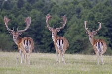 Free Three Deer Royalty Free Stock Photo - 36438525