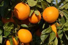 Free Orange Tree Stock Photo - 36439640