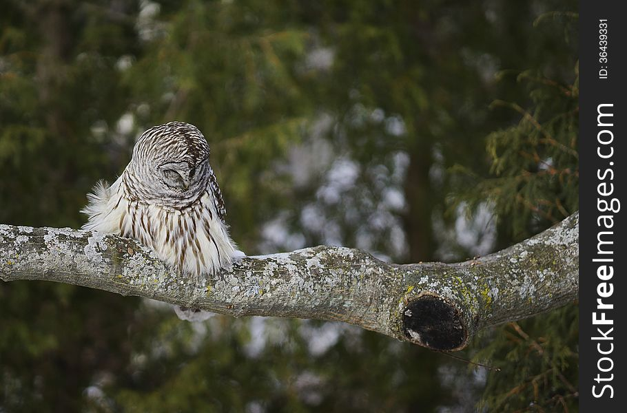 Barred Owl Napping