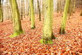 Free Beech Forest Stock Photos - 36442793