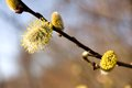 Free Willow Catkins Royalty Free Stock Photo - 36448365
