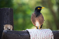 Free Angry Mynah On The Pole. Stock Image - 36449281