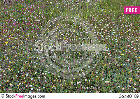 Free Ripe Dandelions On The Green Grass Royalty Free Stock Images - 36440189