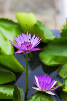 Bees And Lotus Stock Photo