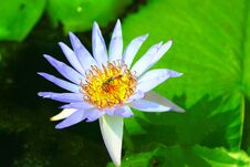 Free Lotus And Bees Royalty Free Stock Photography - 36441577