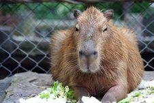 Free Capybara Stock Image - 36441611