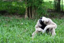 Free Lonely Gibbon Stock Images - 36441644
