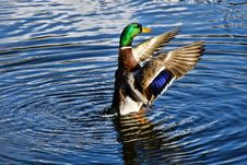 Free Mallard Malarkey Royalty Free Stock Photos - 36444118