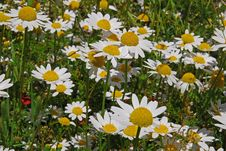 Free White Daisies Stock Photo - 36446350