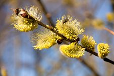 Free Willow Catkins Stock Photo - 36448410