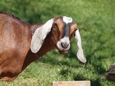 Free Goat Stock Photos - 36449993