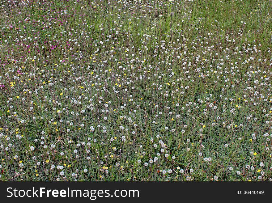 Ripe dandelions on the green grass