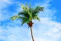 Free Coconut Tree Stock Images - 36457174