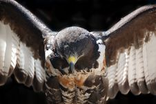 Free Jackal Buzzard Close Up Stock Photography - 36456202