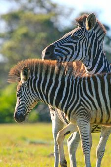 Free Zebra Pair Stock Photo - 36456240