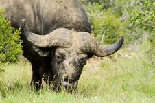 Free Cape Buffalo Stock Photography - 36456312
