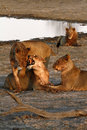 Free African Lion Pride Interaction Stock Photography - 36460882