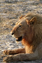 Free African Blood Soaked Male Lion Stock Photography - 36461542
