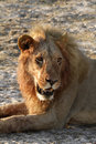 Free Big African Male Lion Stock Photo - 36461560