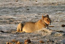 Free African Lioness Royalty Free Stock Image - 36461126