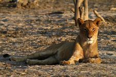 Free Pride Of Africa The Regal Lion Royalty Free Stock Images - 36461299