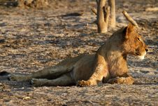 Free African Lioness Looking Right Royalty Free Stock Photography - 36461347